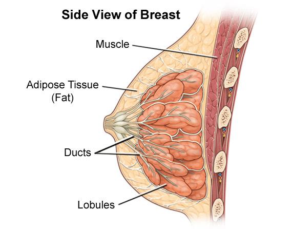 Breast anatomy. Benign breast diseases