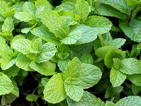 Bowles mint