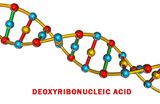 Deoxyribonucleic Acid - DNA