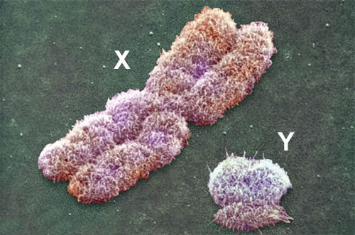 Chromosome XY