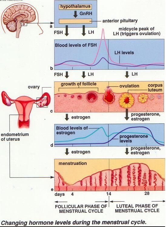 Hormone levels during the menstrual cycle
